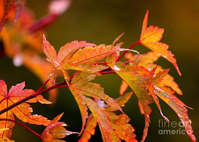 Photograph - Coral Bark Maple by Erica Hanel