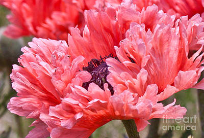 Photograph - Coral Poppy by Jill Smith