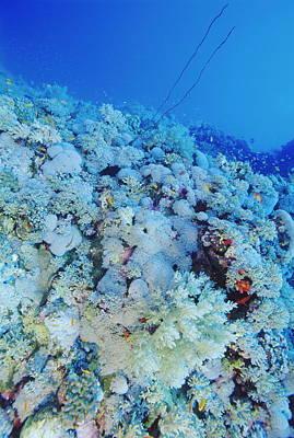 Coral Reef Art Print by Alexis Rosenfeld
