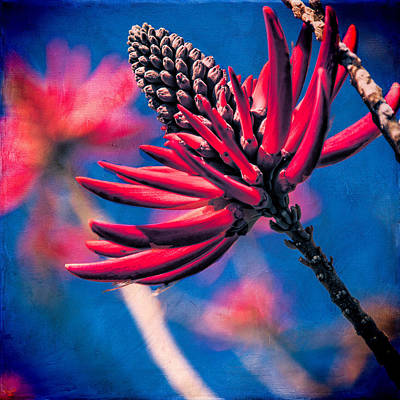 Photograph - Coral Tree Flower by Chris Lord