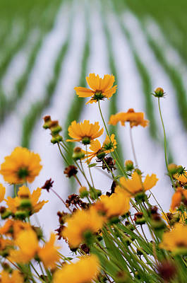 Coreopsis Lanceolata In Front Of Rice Field Art Print