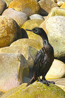 Photograph - Cormorant 1 by Marie Morrisroe