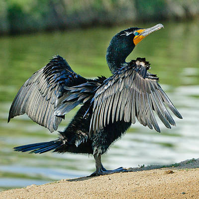 Photograph - Cormorant 7  Wilderness Lakes by Bob and Nadine Johnston