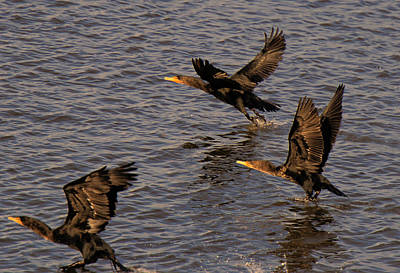 Photograph - Cormorants In Flight 1 by Lawrence Christopher