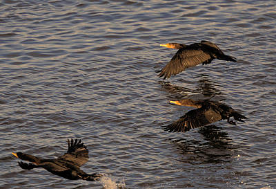 Photograph - Cormorants In Flight 2 by Lawrence Christopher