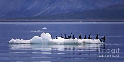 Art Print featuring the photograph Cormorants On Ice Floe - Glacier Bay Alaska by Craig Lovell