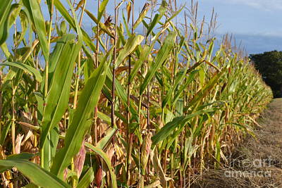Photograph - Corn 4 by Justine Gersich