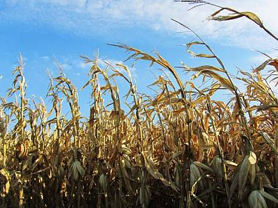 Photograph - Corn And Blue Sky by Todd Sherlock