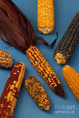 Ears Of Corn Photograph - Corn Mutations by Photo Researchers
