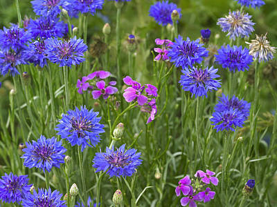 Cornflower And Pointed Phlox Art Print by Tim Fitzharris