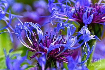 Cornflower Color Art Print by Byron Varvarigos