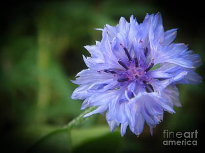 Photograph - Cornflower by Yvonne Johnstone