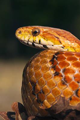 Corn Snake Photograph - Cornsnake Elaphe Guttata by Pete Oxford