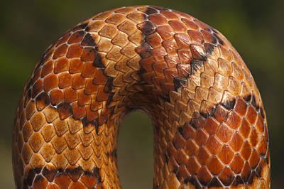 Corn Snake Photograph - Cornsnake Elaphe Guttata Scale Pattern by Pete Oxford