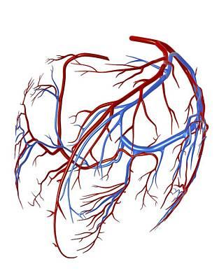 Coronary Vessels Of The Heart Art Print