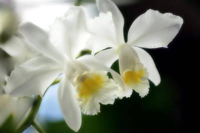 Corsage Orchid (cattleya Hybrid) Print by Maria Mosolova