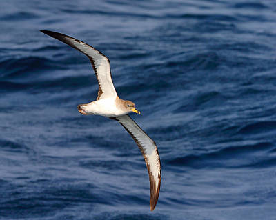 Cory Photograph - Cory's Shearwater by Tony Beck
