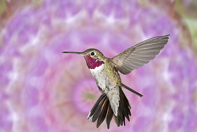 Broad Tail Photograph - Cosmetic Hummingbird Prince by Gregory Scott