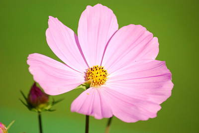 Cosmos And Bud Art Print