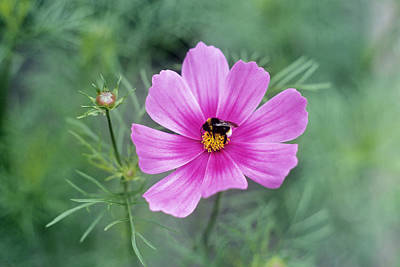 Cosmea Photograph - Cosmos Bipinnatus With A Bumble Bee by Maxine Adcock