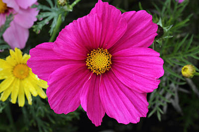 Photograph - Cosmos by Doug Lloyd