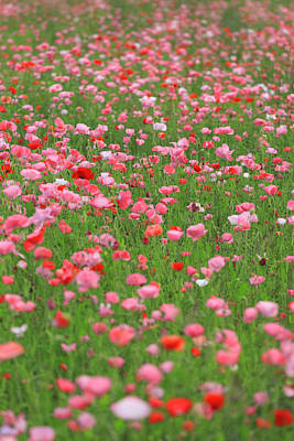 Photograph - Cosmos Growing In Field by Imagewerks