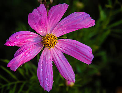Photograph - Cosmos Flower Closeuo by Jean Noren