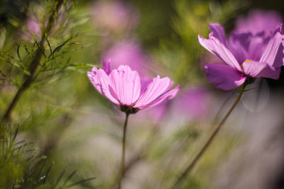 Abstract Flowers Royalty-Free and Rights-Managed Images - Cosmos Light by Mike Reid