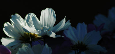 Photograph - Cosmos by Sandra Sigfusson