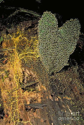 Photograph - Costa Rican Slime Mold by Greg Dimijian