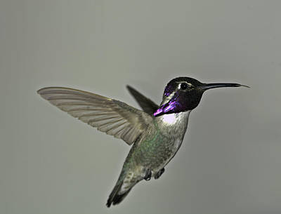 Print featuring the photograph Costas Hummingbird by Gregory Scott