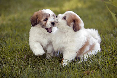 Coton Tulear Photograph - Coton De Tulear Puppies by Phil Degginger