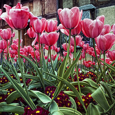 Lkg Photograph - Cotswold Tulips by Laura George