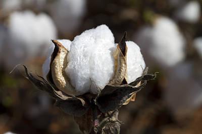 Cotton Bolls Springing Forth Art Print by Kathy Clark