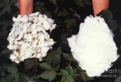 Cotton Comparison Art Print by Photo Researchers