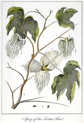 Cotton Plant, 1796 Art Print by Granger