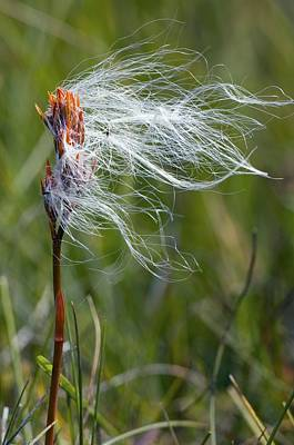 Inner Part Photograph - Cottongrass On A Bog Asphodel Seed-head by Duncan Shaw