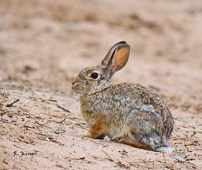Photograph - Cottontail Bunny by Roena King