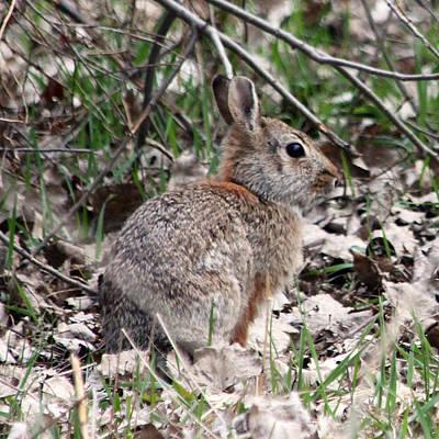 Photograph - Cottontail Rabbit by Mark J Seefeldt