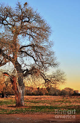 Photograph - Cottonwood Tree by Donna Greene