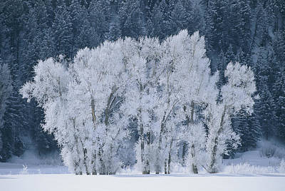 Cottonwood Trees With Frost Art Print by Skip Brown