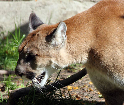 Photograph - Cougar - 0002 by S and S Photo