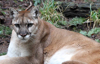 Photograph - Cougar - 0003 by S and S Photo
