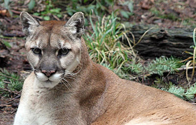 Photograph - Cougar - 0004 by S and S Photo