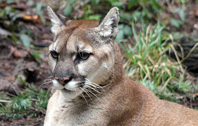 Photograph - Cougar - 0005 by S and S Photo