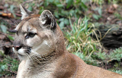 Photograph - Cougar - 0006 by S and S Photo