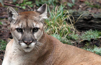 Photograph - Cougar - 0007 by S and S Photo
