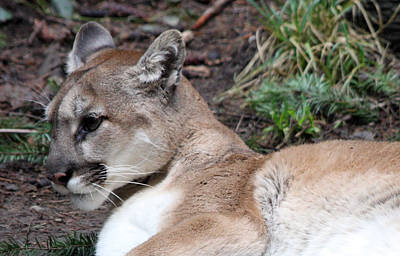 Photograph - Cougar - 0008 by S and S Photo