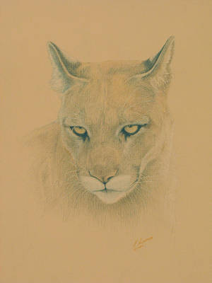 Cougar Print by Norm Holmberg