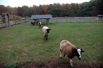 Wool Photograph - Counting Sheep by LeeAnn McLaneGoetz McLaneGoetzStudioLLCcom
